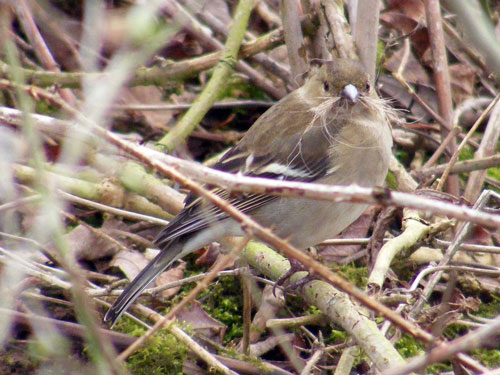 Photo of chaffinch