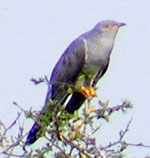 Photo of cuckoo
