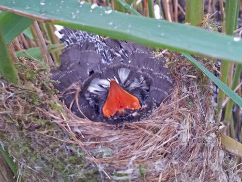 Photo of baby cuckoo in a reed warbler's nest.