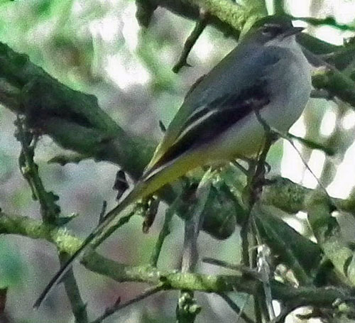 Photo of grey wagtail
