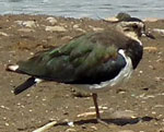 Photo of Lapwing