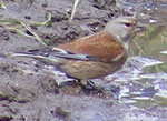 Photo of linnet