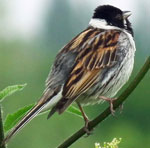 Photo of reedbunting
