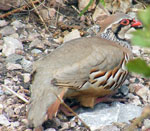 Photo of Red-legged Partridge