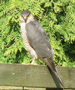 Image of Sparrowhawk