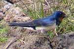 Photo of swallow