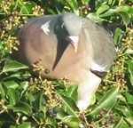 Photo of woodpigeon