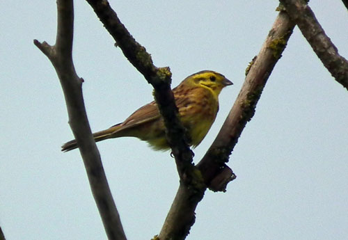 Photo of yellowhammer